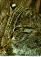 The Fishing Cat by In-the-picture