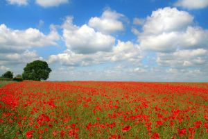 Field of red poppies by nectar666