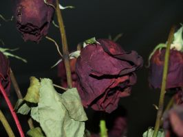 dead rose by Irie-Stock