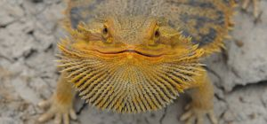 Beardie by damir-g-martin