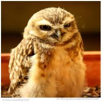 Burrowing Owlet by In-the-picture