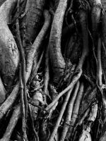 Ficus roots by ChaoticLandscape