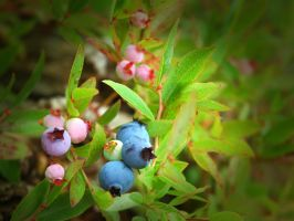 Blueberries 1 by LucieG-Stock
