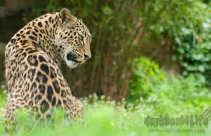 Leopardess by darkSoul4Life