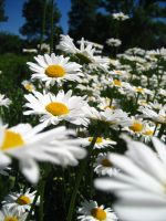 Field of Daisies by jds79