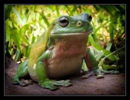 Green Tree Frog 3 by ipstuart