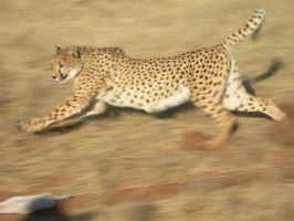 Cheetah Running 2 by Serendith