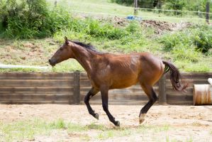 KM Brown canter side view by Chunga-Stock