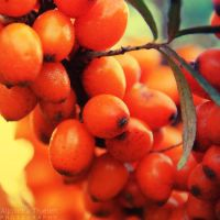 Sea buckthorn by AljoschaThielen