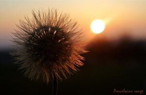 Autumn dandelion by Porcelainerouge