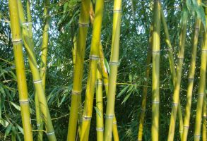 Bamboos by TinyWild
