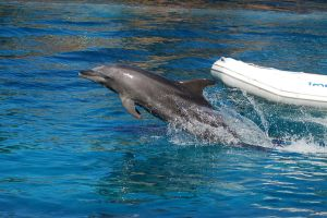 Dolphin jumping out of water by Chunga-Stock