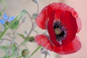 G92 1712wild red poppy by Partists
