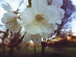 Blossom Tree VI by grifasp