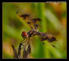 Amber Wing 08 by boron