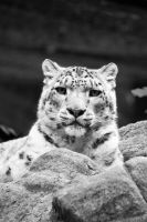 Snow leopard by DeviantTeddine