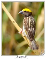 Baya Weaver- male by AMROU-A