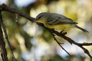 Suiriri Flycatcher by BrunoDidi