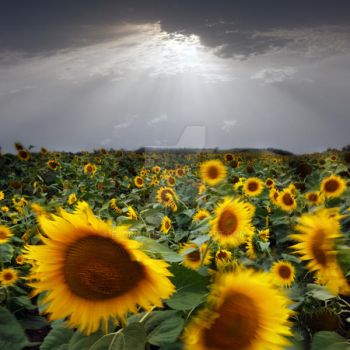 sunflower taking a bow by Floriandra