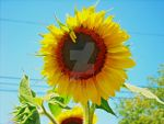 High Contrast Sunflower by Queen-of-the-lions