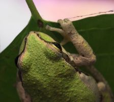 California Tree Frog, Green by dkbarto
