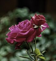 Roses mod 5-9-14 by Tailgun2009