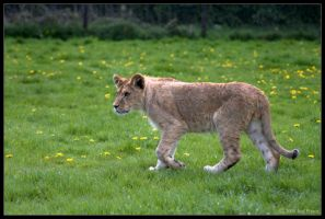Lion Cub by Prince-Photography