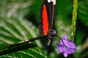 Black and Red Butterfly on a Purple Flower by S-H-Photography
