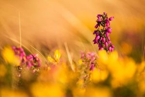 Purple on Gold by Andyw01
