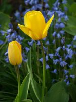 Yellow Tulip 13 by botanystock