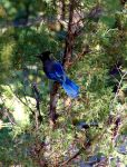 Blue on a Branch by TheSleepyRabbit