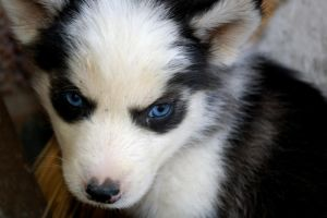 Baby Huskey by jey6