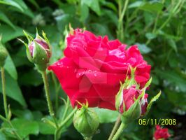 Raindrops on the Rose by Chads1986Dream