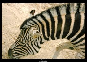 Zebra by Jna1985