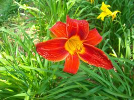 Orange daylily by celticpath