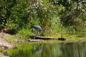 Great blue heron 3 by Silver-she-wolf-14