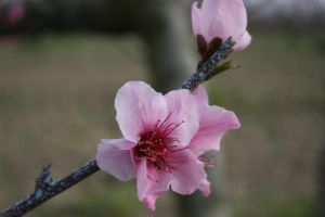 Peach Blossoms 2 by alazada9855
