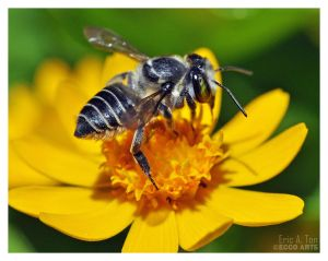 Bee Getting Nectar by Eccoton
