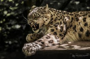 Snowleopard, Stuttgart II by FGW-Photography