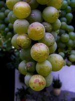 grapes by afyllian
