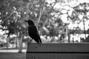 A crow named Breadcrumbs by ferret46