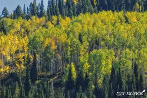 Morning Glow Through the Aspens by mjohanson