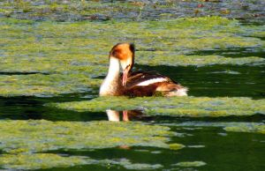 Great Crested Grebe by Sasa-Van-Goth