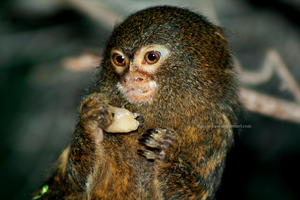 Pygmy Marmoset by The-Nutkase