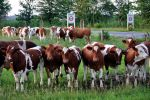 09 Cows by Gimper43