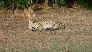 Serval in the Sun by TevaFox