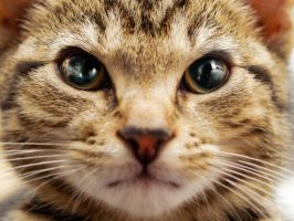 close up  kitten by carinasphotos