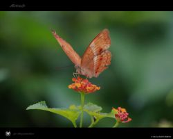 Butterfly by vinayan
