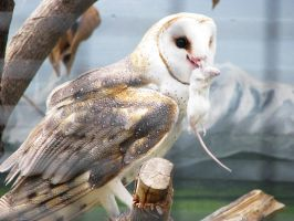 Owl Stock 5: Barn Owl by HOTNStock