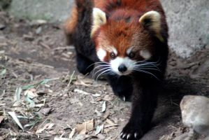 Red Panda Stalking by ChaosToGlory